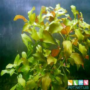 Людвигия Палюстрис Болотная (Ludwigia palustris)
