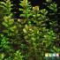 Ротала Макрандра Зеленая  (Rotala macrandra